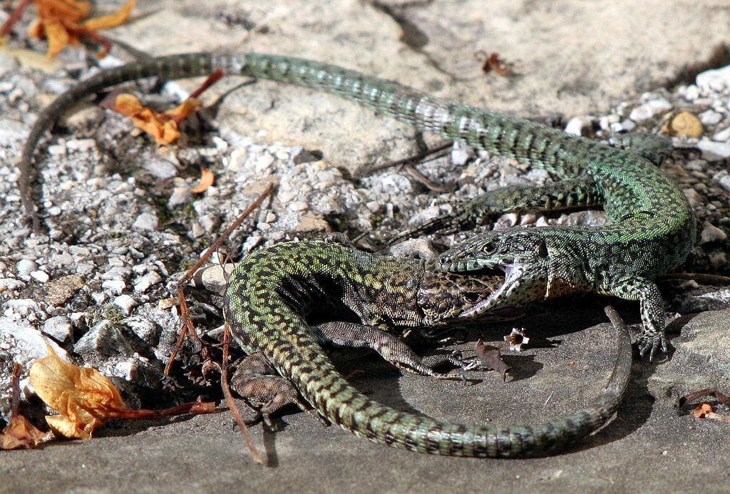 Andalucian wall lizard - Podarcis vaucheri – Lagartija andaluza