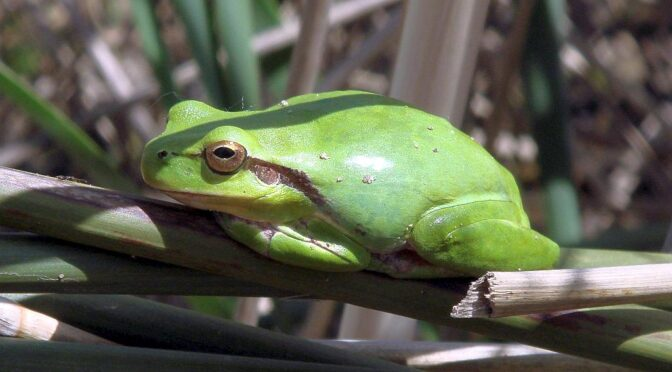 Stripeless treefrog – Hyla meridionalis – Ranita meridional