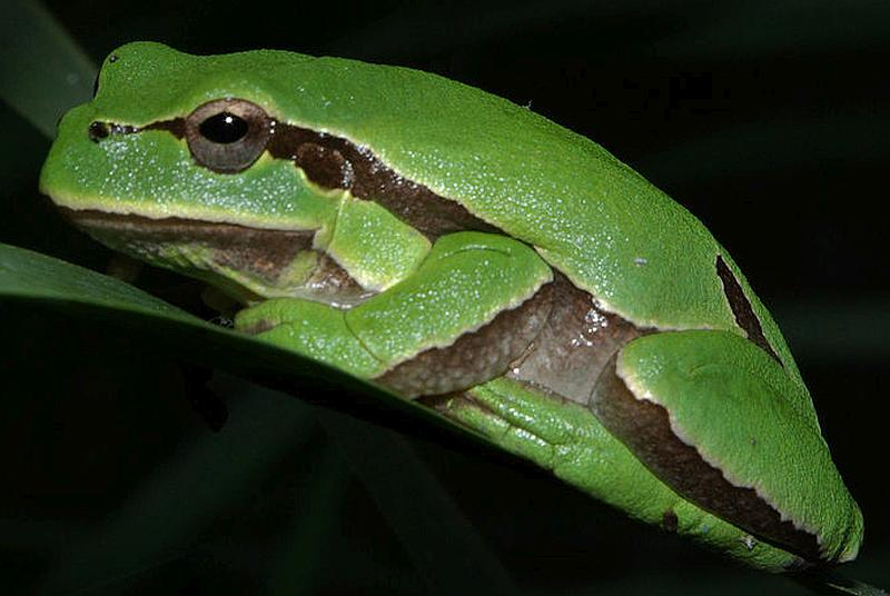 Hyla molleri, also known as the Iberian tree frog or Moller's tree frog