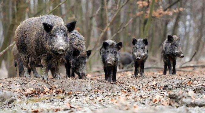 Iberian Wild Boar – Sus scofra – Jabali