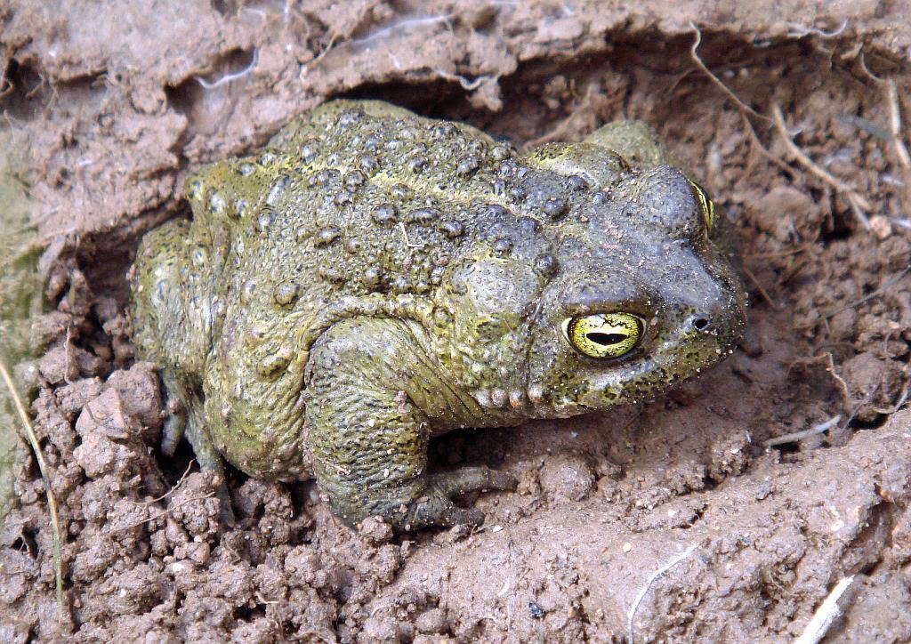 Natterjack toad - Epidalia (Bufo) calamita - Sapo corredor