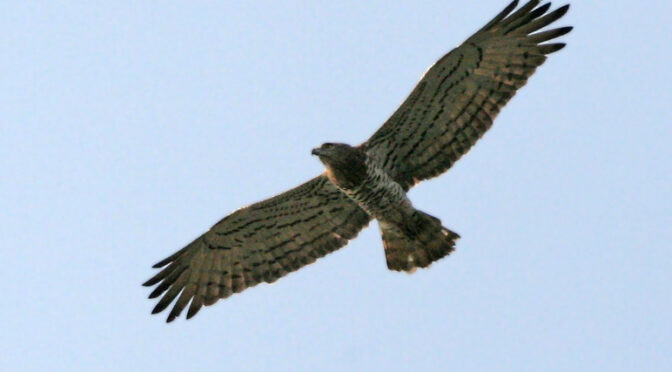 Short-toed Eagle – Circaetus gallicus – Aguila culebrera
