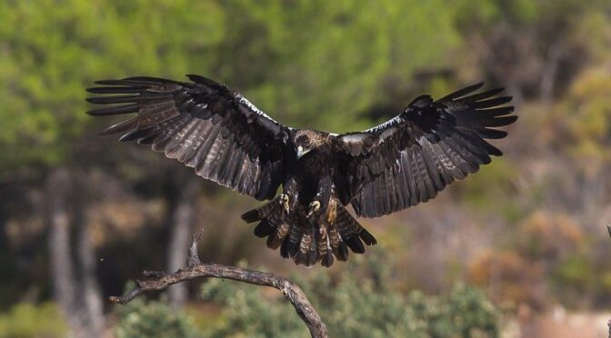 New nesting pairs of Spanish Imperial Eagle in Andalusia