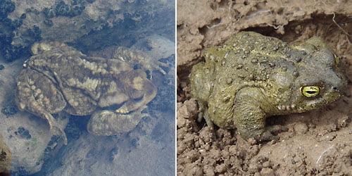 Iberian common toad - Bufo spinosus - Sapo comun Ibérico