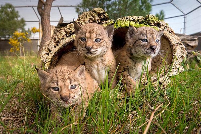 To date, 238 specimens of Iberian lynx have been born in the breeding centres of El Acebuche and Zarza de Granadilla with 150 released in different areas of the Iberian Peninsula.