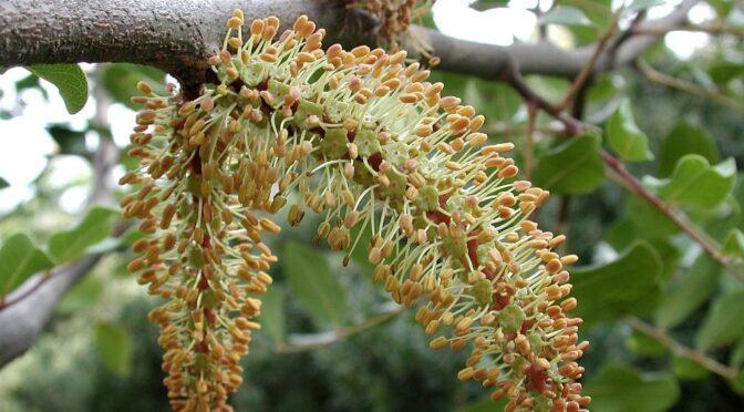 Carob Tree - Ceratonia siliqua - Algarrobo