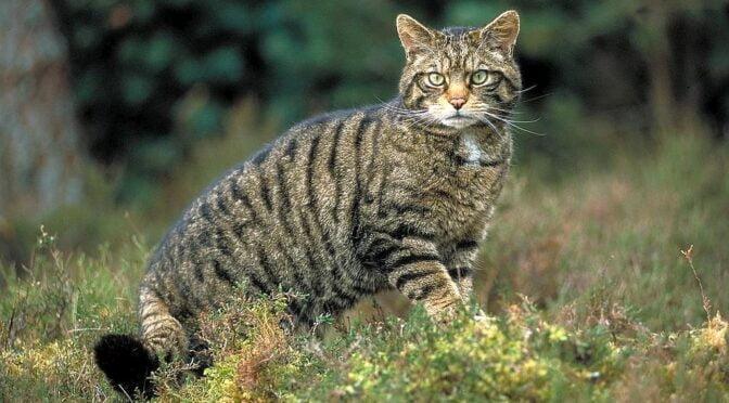 Wild cat – Felis sylvestris sylvestris – Gato montes