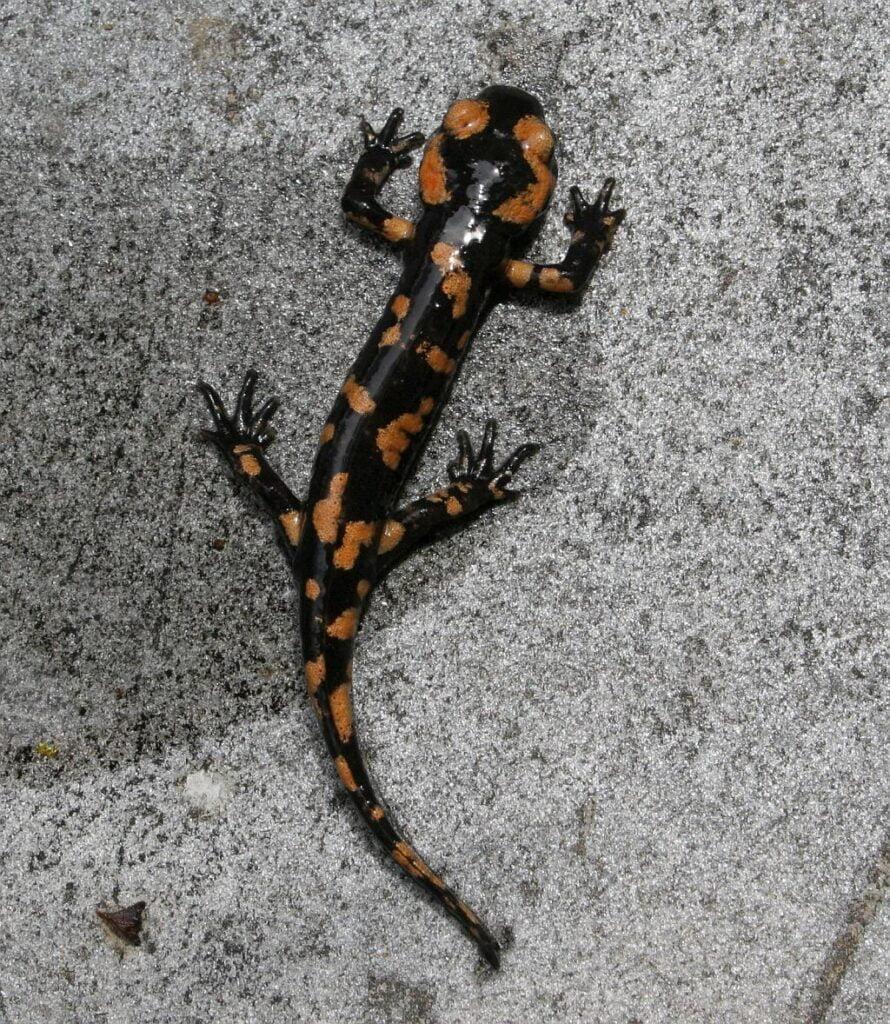 Fire Salamander (Salamandra salamandra) Salamandra Común
