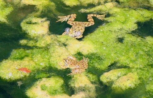 Iberian Water Frog - Pelophylax perezi - Rana común