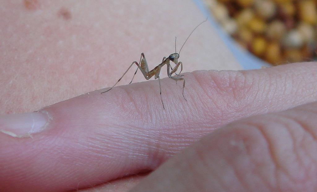Praying Mantis (Mantis religiosa) - Insecto de Santa Teresa
