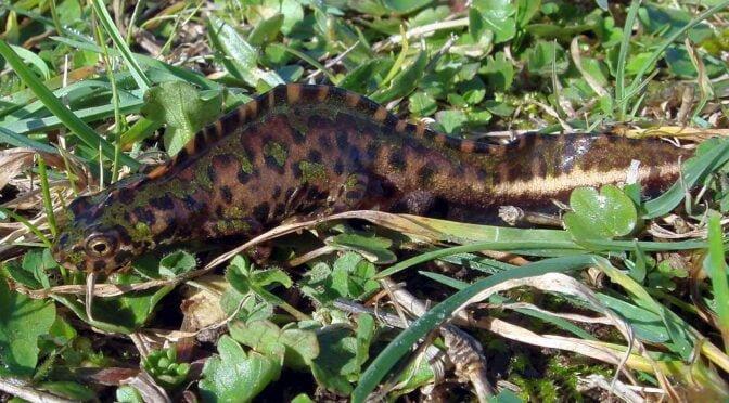 Pygmy (marbled) newt – Triturus pygmaeus – Tritón pigmeo