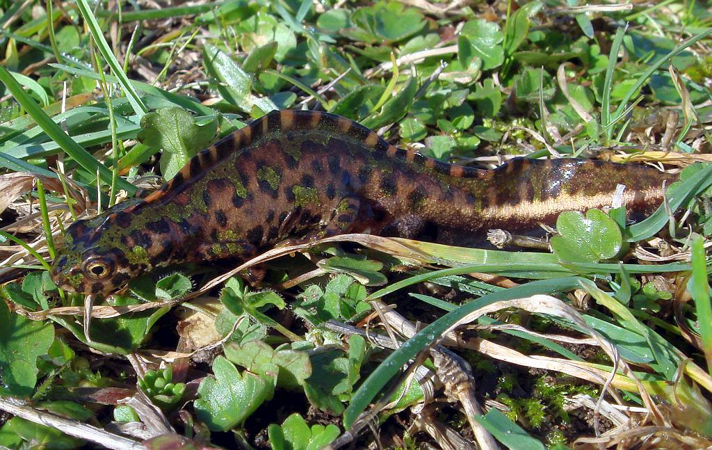 The Pygmy (marbled) newt - Triturus pygmaeus - Tritón pigmeo was traditionally considered a subspecies of the marbled newt (Triturus marmoratus)