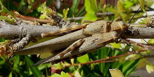 A pair of Egyptian Grasshoppers copulating