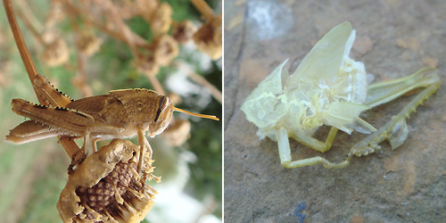 Left a more patterned individual with wing buds just visible. Right a moulted exoskeleton