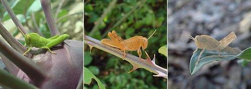 Egyptian grasshopper - Anacridium aegyptium - Langosta egipcia