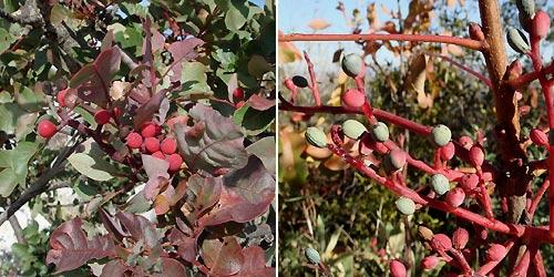 Turpentine tree - Pistacia terebinthus - Cornicabra