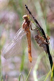 Dragonflies and Damselflies in Spain