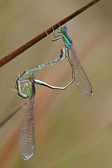 """A pair of Scarce Blue-tailed Damselflies – Ischnura pumilio copulating in the """"wheel"""" position"""