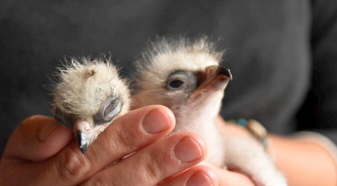 Eleven Bonellis eagle chicks reared in 2021