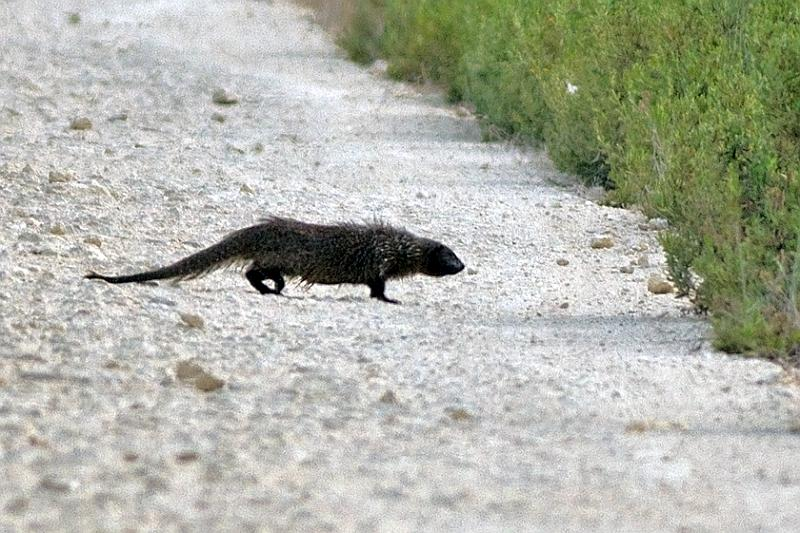 The Egyptian mongoose - Herpestes ichneumon - Meloncillo is also known as the ichneumon and although it is thought to be introduced to the Iberian Peninsula
