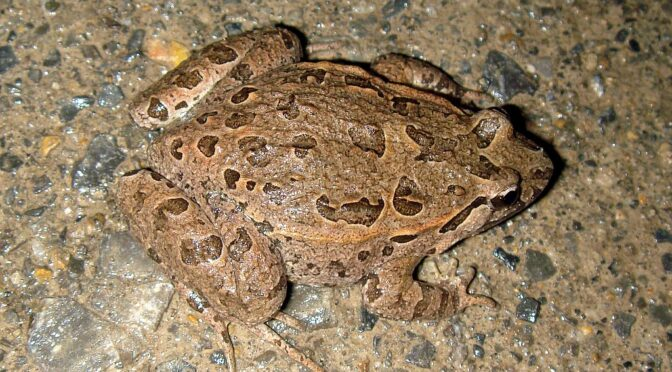 A medium sized toad, the Iberian Painted Frog - Discoglossus galganoi - Sapillo pintojo ibérico looks very similar to a frog