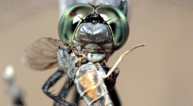 Iberian dragonflies and damselflies are extremely beautiful insects which capture the very essence of summer