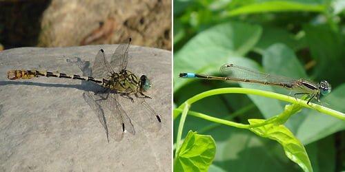 Left: Anisoptera dragonfly - Right: Zygoptera damselfly