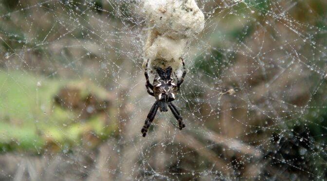 Tent-Web Spider – Cyrtophora citricola – Araña orbitela de las chumberas