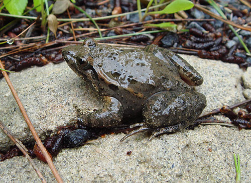 The East Iberian Painted Frog - Discoglossus jaenneae - Sapillo Pintojo Meridional is a shiny, plump frog with a pointed snout that can reach a body length of up to 6cm