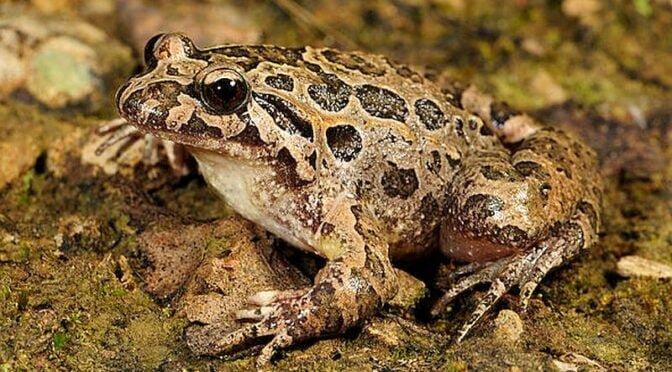 East Iberian Painted Frog – Discoglossus jaenneae – Sapillo Pintojo Meridional