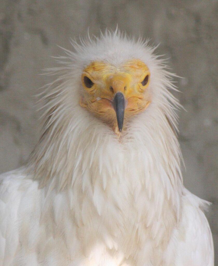 Egyptian Vulture - Neophron percnopterus - Alimoche Común